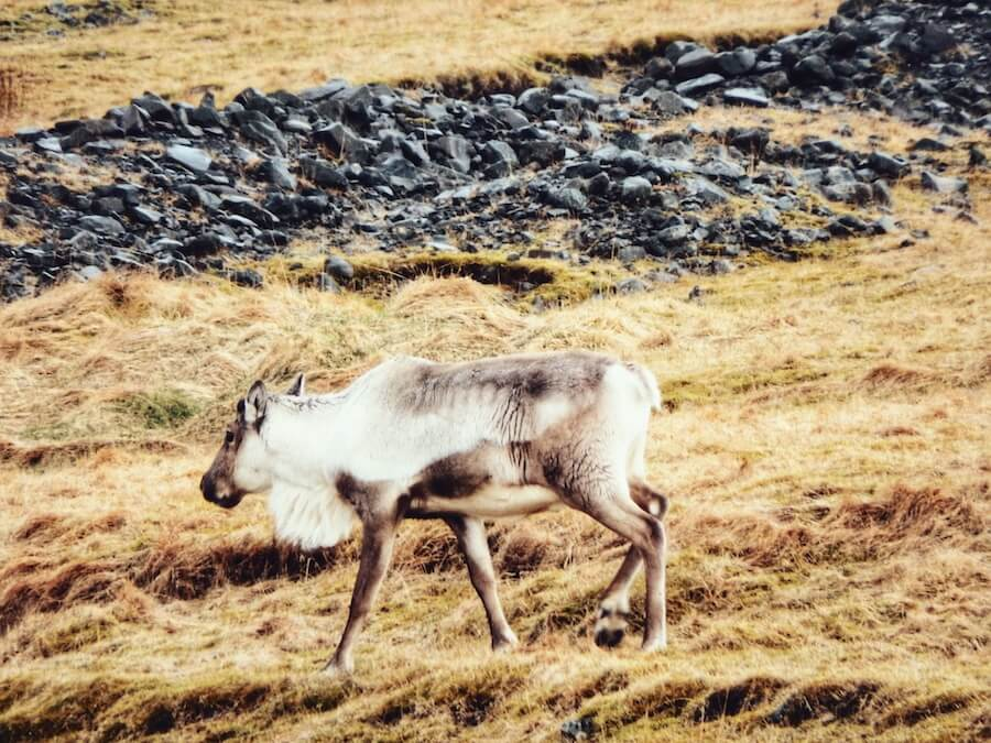 Reindeer, Iceland | Moon & Honey Travel
