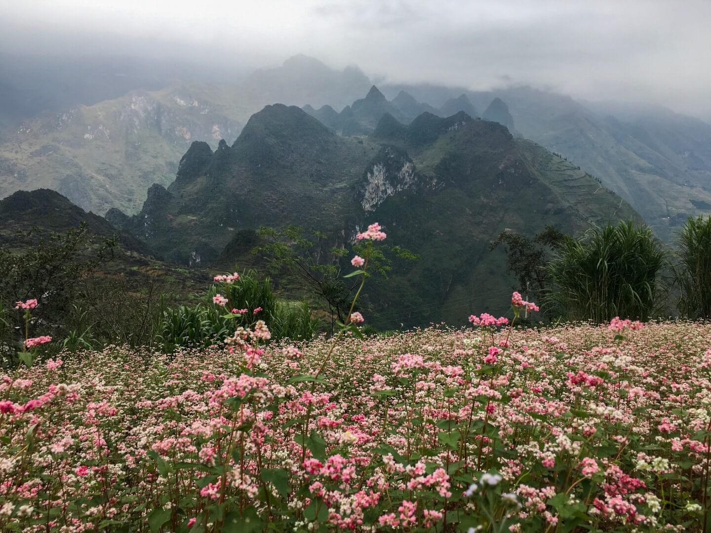 Buckwheat Flowers, Dong Van Karst Plateau, Ha Giang, Vietnam | Moon & Honey Travel