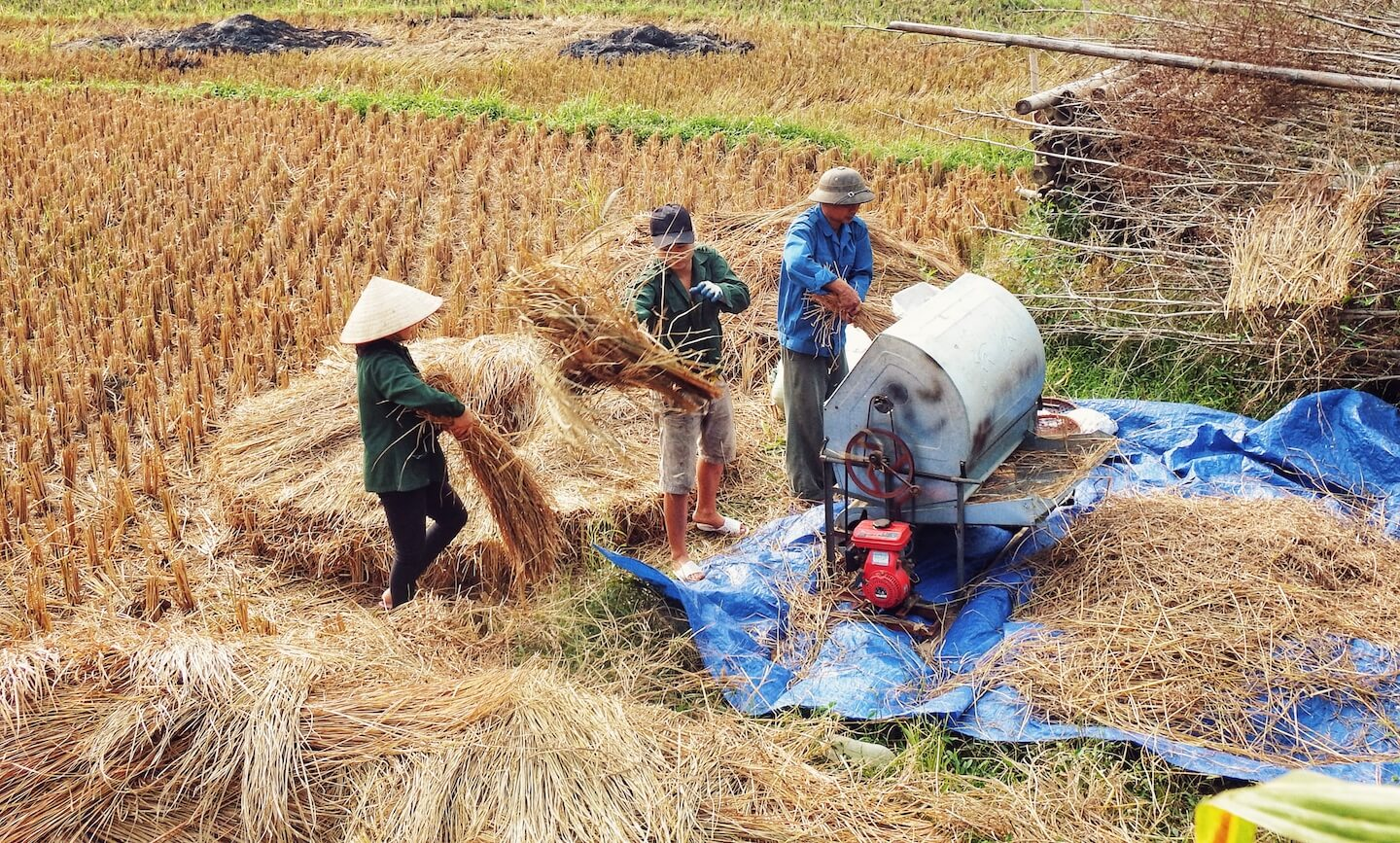 Rice Harvest, Vietnam | Moon & Honey Travel