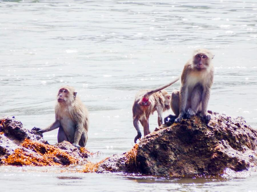 Macaques hunting for crabs, Offbeat Thai Island Hopping | Moon & Honey Travel