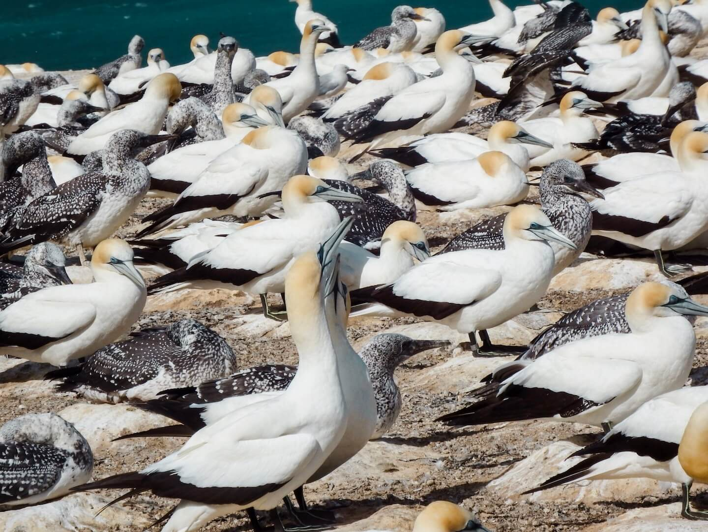Cape Kidnappers Gannet Colony, New Zealand | Moon & Honey Travel