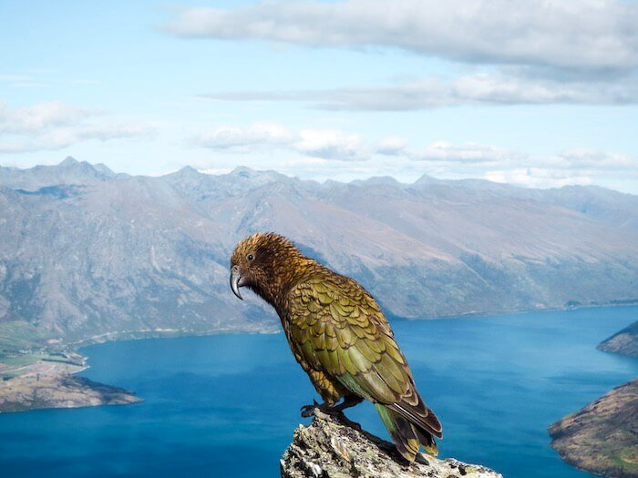 Kea, Ben Lomond Summit, NZ Hiking Guide | Moon & Honey Travel