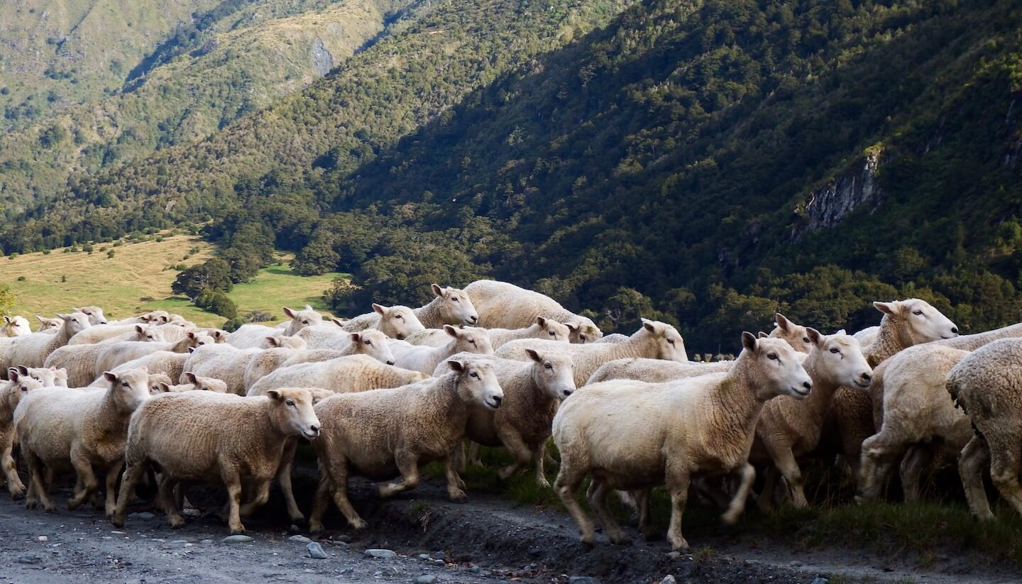 New Zealand Sheep, New Zealand One Month Itinerary South Island | Moon & Honey Travel